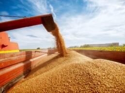 Máquina despejando uma grande quantidade de grãos em tanques de armazenamento